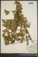 Image of Rubus jugosus
