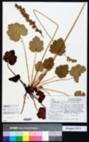 Image of Heuchera chlorantha