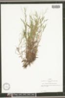 Image of Panicum wrightianum