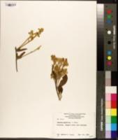 Image of Dampiera luteiflora