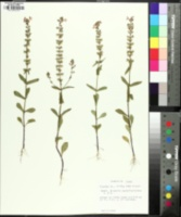 Warnockia scutellarioides image