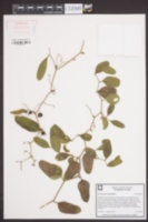 Smilax auriculata image