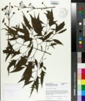 Image of Polyscias fruticosa