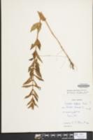 Lycopus europaeus image