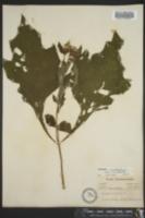 Smallanthus uvedalius image