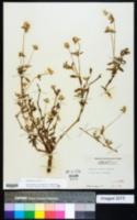 Gomphrena serrata image
