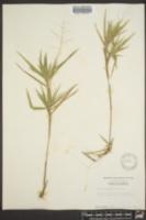 Dichanthelium oligosanthes var. oligosanthes image