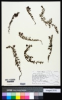 Image of Krameria revoluta