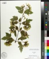 Acer ginnala image