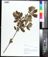 Image of Berberis canadensis