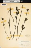 Image of Ruellia succulenta