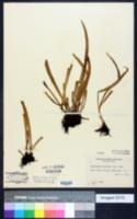 Image of Antrophyum lineatum