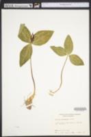 Trillium foetidissimum image