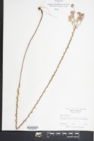 Symphyotrichum concolor image