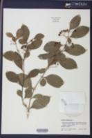 Image of Solanum diphyllum