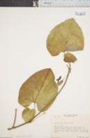 Image of Aristolochia durior