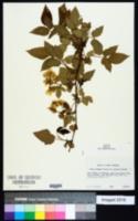 Image of Rubus alumnus