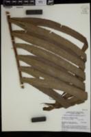 Image of Chingia ferox