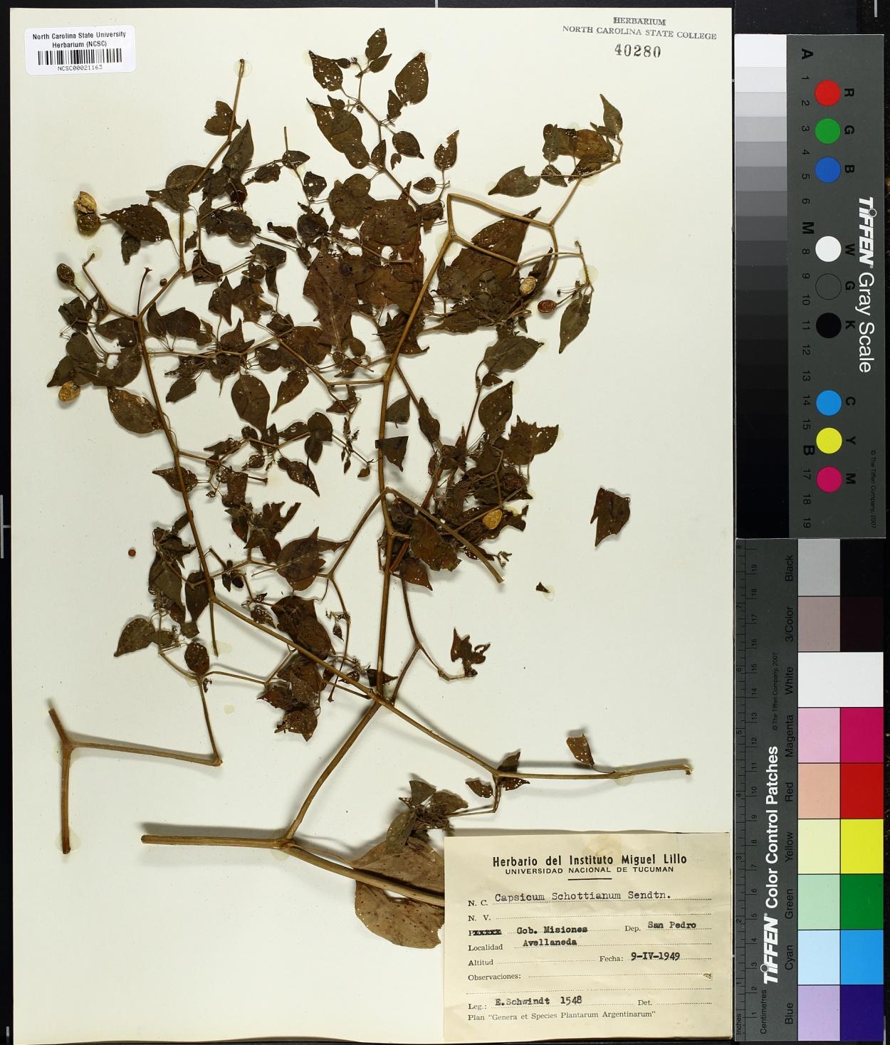 Capsicum schottianum image