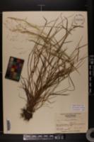 Agrostis borealis image