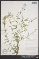 Image of Pseudognaphalium attenuatum