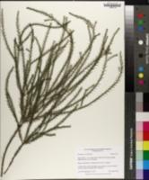 Melaleuca ericifolia image