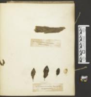 Capnodium pelliculosum image
