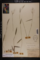 Dichanthelium lucidum image