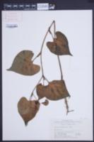 Image of Saururus chinensis