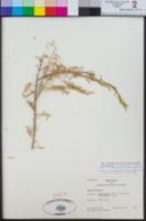 Image of Lycium europaeum