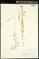 Lobelia appendiculata image