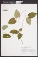 Matelea carolinensis image
