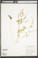 Chenopodium standleyanum image