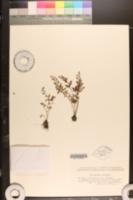 Image of Asplenium ruta-muraria