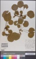 Shortia rotundifolia image