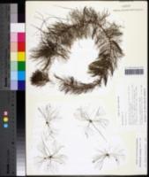 Myriophyllum pinnatum image