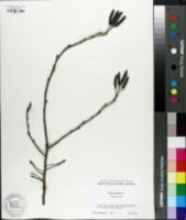 Image of Alnus japonica