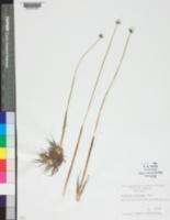Image of Eriocaulon pellucidum