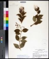 Image of Jasminum simplicifolium