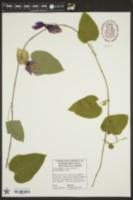 Image of Dalechampia dioscoreifolia