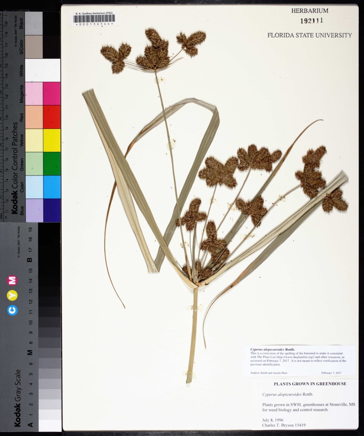 Cyperus alopecuroides image