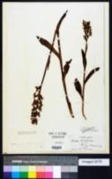 Image of Dactylorhiza hatagirea