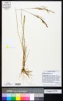 Eragrostis gangetica image