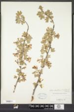 Ribes odoratum image