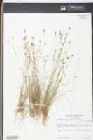 Rhynchospora pusilla image