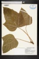 Image of Aleurites moluccana