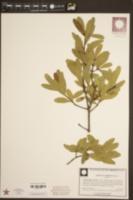Quercus laurifolia image