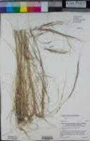 Stipa cernua image