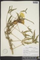 Hibiscus cannabinus image
