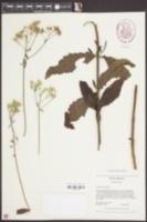 Eupatorium album image